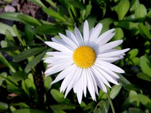 flor-floare-flower
